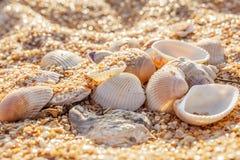 Shell-Mollusken im Sand Stockfoto