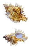 Shell of Murex Saulii or Chicoreus Saulii Stock Photography