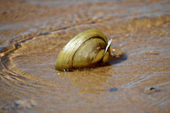 Shell na água pouco profunda imagem de stock
