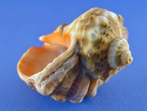 Shell na błękicie Obraz Stock