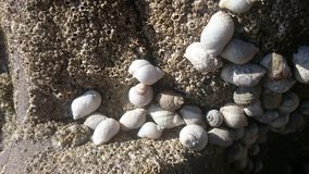 Shell na península do gower Fotografia de Stock