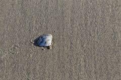 Shell na piasku Obraz Royalty Free