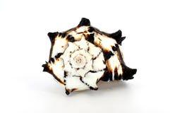 Shell negro del murex Imagen de archivo