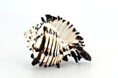 Shell negro del murex aislado Fotografía de archivo
