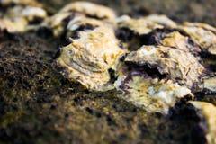 Shell no recife Foto de Stock