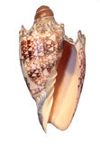 Shell notable del mar aislado fotografía de archivo libre de regalías
