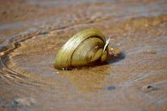 Shell in ondiep water Stock Afbeelding