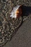 Shell op de kust Royalty-vrije Stock Afbeelding