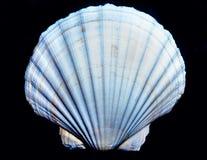 Shell op de zwarte, Stock Fotografie