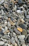 Shell op een stenenstrand Royalty-vrije Stock Foto's