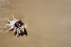 Shell op zand. Stock Foto