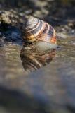 Shell på en sten reflekterad i vatten Arkivbilder