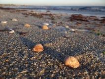 Shell på en strand i britany arkivfoto
