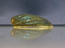 Shell på exponeringsglas Royaltyfri Foto