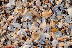 Shell på kusten Arkivbild