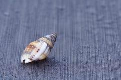 Shell på svart bakgrund IX royaltyfri foto