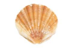 Shell på vit kanfas Fotografering för Bildbyråer