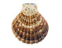 Shell på vitbakgrund Royaltyfria Foton