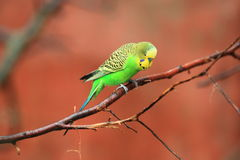 Shell parakeet Royalty Free Stock Images