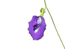 Shell pełzacza kwiat Obrazy Royalty Free