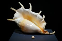 Conch with pearl from deep ocean Royalty Free Stock Images