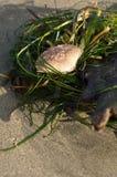 Shell pequeno do caranguejo Imagem de Stock