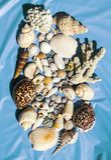 Shell plakata seans łuska i korale od Masirah wyspy, Oman, ocean indyjski obraz royalty free