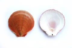 Shell posterior del mar del frente foto de archivo libre de regalías