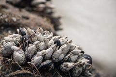 Shell que crescem em uma rocha na praia Foto de Stock Royalty Free
