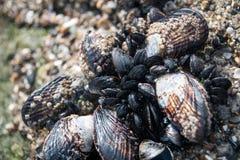 Shell que crescem em uma rocha na praia Fotos de Stock Royalty Free