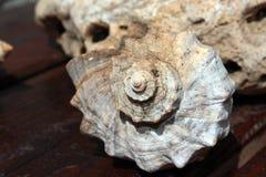 Shell Rapan Arkivfoton