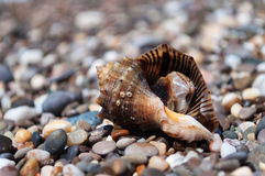 Shell Rapana. Just taken out of the Black Sea shell Rapana Stock Photo