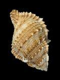 Shell Rapana Fotografia Stock