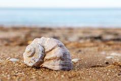 Shell Rapana gegen das Meer Stockfotos