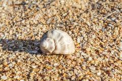 Shell Rapana venosa Fotografering för Bildbyråer