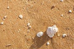 Shell Rapana venosa på stranden Royaltyfri Bild