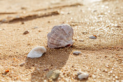Shell Rapana venosa Royalty Free Stock Photos