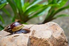 Shell redondo do caracol grande longo de Bbrown com listras Imagens de Stock Royalty Free