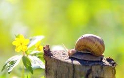 Shell redondo do caracol grande longo de Brown com listras e com chifres longos Foto de Stock Royalty Free