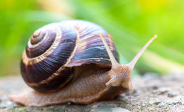 Shell redondo do caracol grande longo de Brown com listras e com os chifres longos que rastejam na borda da pedra Imagem de Stock Royalty Free