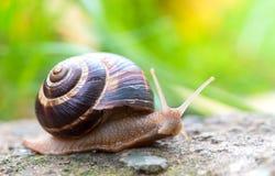 Shell redondo do caracol grande longo de Brown com listras e com os chifres longos que rastejam na borda da pedra Imagens de Stock Royalty Free