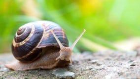Shell redondo do caracol grande longo de Brown com listras e com os chifres longos que rastejam na borda da pedra Imagens de Stock