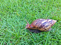 Shell redondo do caracol grande longo de Brown com listras e com os chifres longos que rastejam nos gass Imagem de Stock Royalty Free