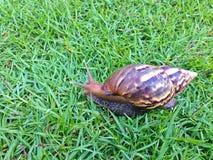 Shell redondo do caracol grande longo de Brown com listras e com os chifres longos que rastejam nos gass Fotos de Stock Royalty Free