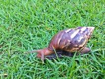 Shell redondo do caracol grande longo de Brown com listras e com os chifres longos que rastejam nos gass Fotos de Stock
