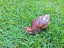 Shell redondo do caracol grande longo de Brown com listras e com os chifres longos que rastejam nos gass Foto de Stock Royalty Free