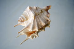 Shell on reflective surface. A shell sitting on a reflective surface Stock Photos