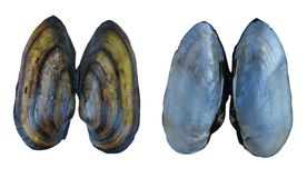Shell of a river mollusk Unio Royalty Free Stock Photo