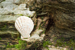Shell on rock Stock Photography