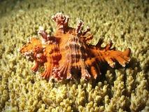 Shell rojo en coral amarillo Fotos de archivo libres de regalías